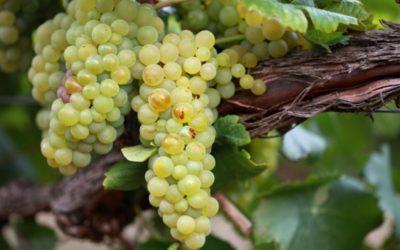 Découvrez l'un des cépages blancs les plus nobles : le Chardonnay !
